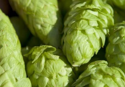 How to Grow Hops At Home