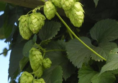 How to Harvest, Prepare and Store Homegrown Hops