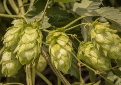 Ask the Experts: Brewing with Fresh Hops